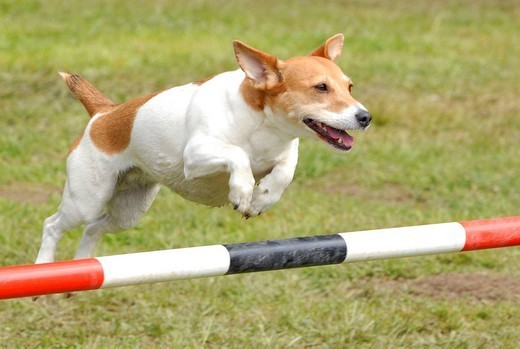 Stock Photo: 824-38608 DOG, JACK RUSSELL TERRIER. Jack Russell Terrier Adult domestic dog. Agility obstacle canine sport. Breed : Jack Russell Terrier Age : adult Canis lupus familiaris  Domestic dog  Dog  Canid  Mammal