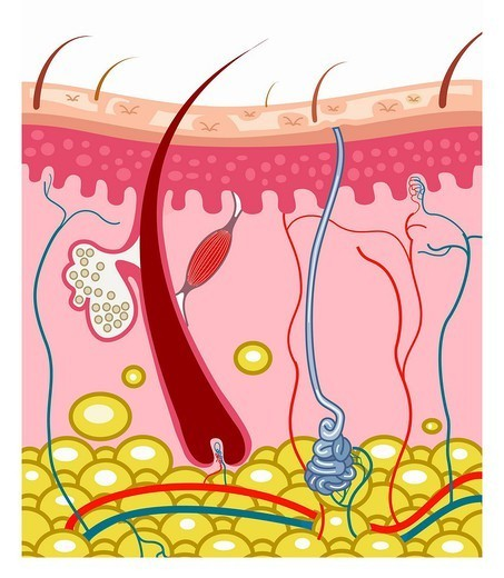 Stock Photo: 824-40746 SKIN, ILLUSTRATION. Section of the skin representing with the hair follicle and its root, a sebaceous gland, an erector pili muscle, a sudoriferous gland, the veinules and the arterioels, the fat, then the layer of keratinocytes and enventually the epidermis with its hair an