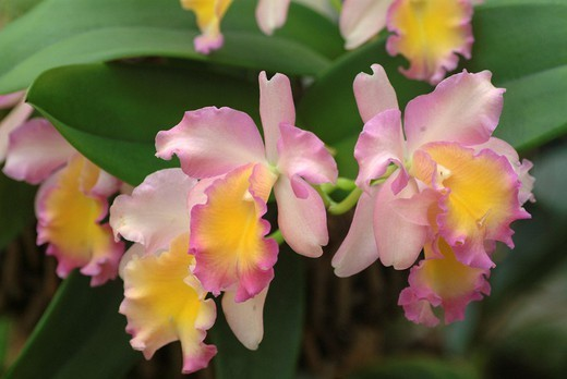ORCHID. ORCHID Worldwide distribution except for United Kingdom and Germany. Orchids of the Cattleya genus. : Stock Photo