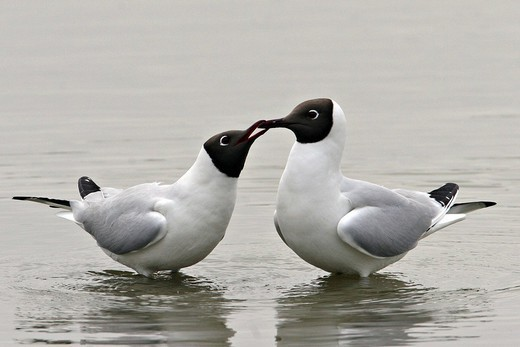 BLACK_HEADED GULL. Adult black_headed gulls Larus ridibundus in courtship ritual. The picture was taken in the Somme bay in Picardy, France. Larus ridibundus  Black_headed gull  Seagull  Larid  Seabird Bird : Stock Photo