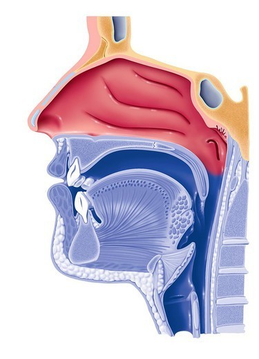 PHARYNX, DRAWING. PHARYNX, DRAWING   Anatomy of the rhinopharynx.  Representation of the airways (rhinopharynx) highlighting the nasal cavity (in red). The buccal cavity, the pharyngeal wall, the uvula and the larynx are in a bichromy. : Stock Photo