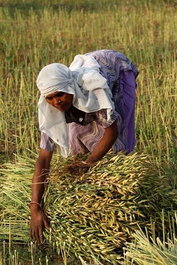 Stock Photo: 824-45705 MUSTARD CULTIVATION. Mustard plant harvest, India, Hardwar Haridwar.