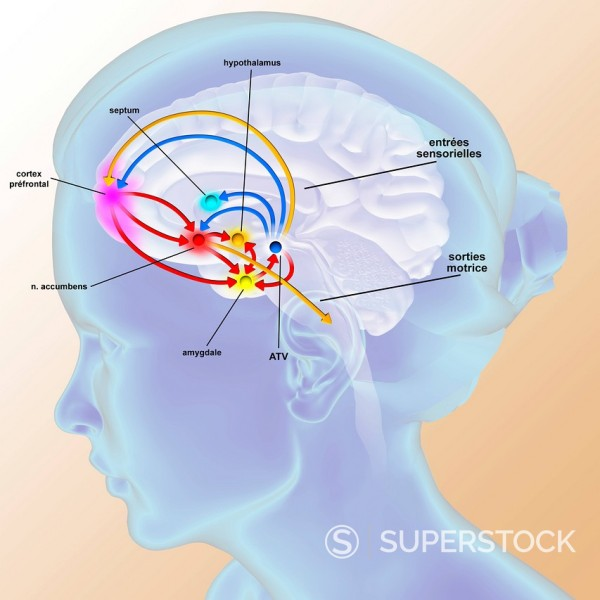 Stock Photo: 824-46421 BRAIN REWARD SYSTEM. The brain reward pathway is indispensable to the survival because it associates the execution of vital functions with strong sensations of satisfaction. The ventral tegmental area VTA, receives informations which indicate the level of satisfaction, then analysis and transmits this information thanks to a chemical messenger, the dopamine, to the nucleus accumbens, the septum, the amygdala and the prefrontal cortex. The nucleus accumbens acts on the striatum which commands our