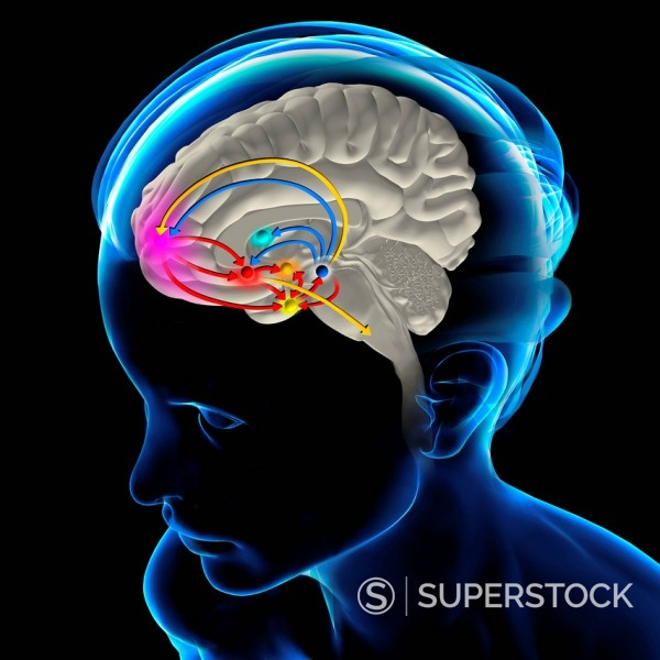 Stock Photo: 824-47591 BRAIN REWARD SYSTEM. The brain reward pathway is indispensable to the survival because it associates the execution of vital functions with strong sensations of satisfaction. The ventral tegmental area VTA, receives informations which indicate the level of satisfaction, then analysis and transmits this information thanks to a chemical messenger, the dopamine, to the nucleus accumbens, the septum, the amygdala and the prefrontal cortex. The nucleus accumbens acts on the striatum which commands our