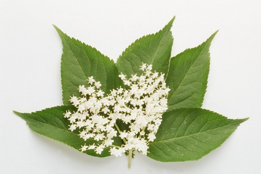 Stock Photo: 824-51261 ELDER. ELDER Sambucus nigra