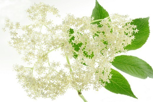 Stock Photo: 824-53142 ELDER. ELDER Elder flowers Sambucus sp.