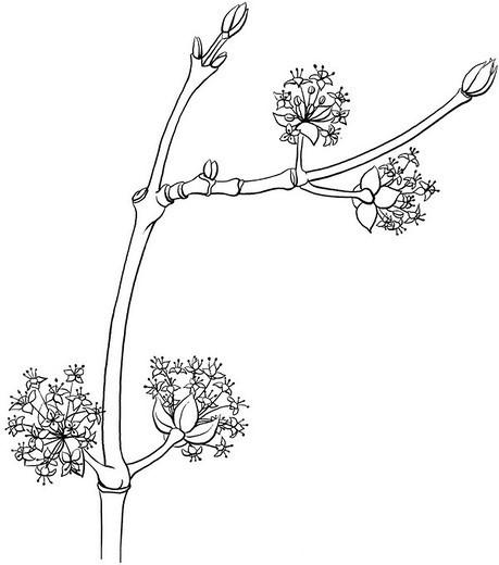 Stock Photo: 824-57594 MALE DOGWOOD, DRAWING. MALE DOGWOOD, DRAWING Male cornelian cherry dogwood leaves (Cornus mas).