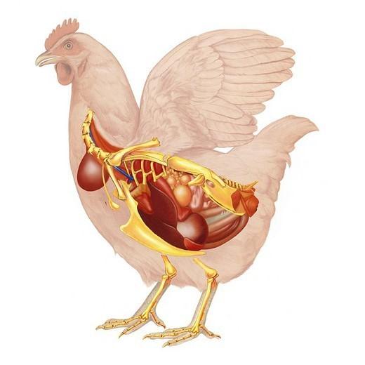 HEN ANATOMY, DRAWING. Hen anatomy. : Stock Photo