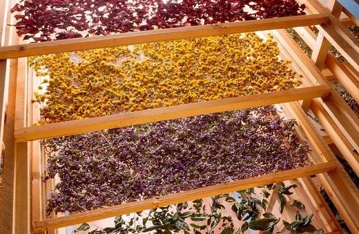 HERBALIST´S SHOP. Drying herbs. Poppy red, marigold yellowmallowpurple,basil green : Stock Photo