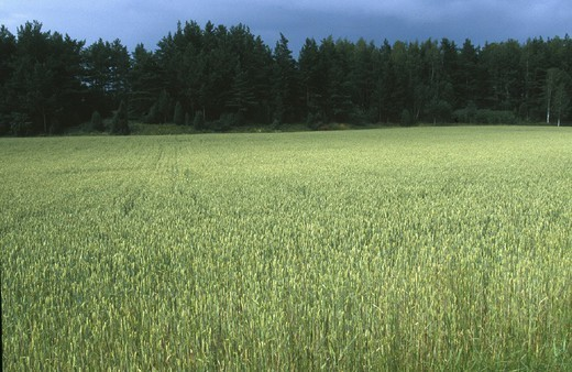 Stock Photo: 824-61497 FIELDS. FIELDS Wheat field in Finland.