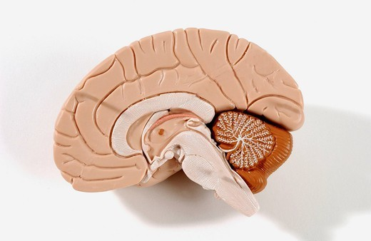 ANATOMY OF THE BRAIN. Anatomical model of the human brain or encephalon cross_section. The encephalon is composed of the diencephalon, covered by the cerebrum flesh colored. The cerebellum in brown and the brain stem in white lie under the cerebrum. The surface of the : Stock Photo