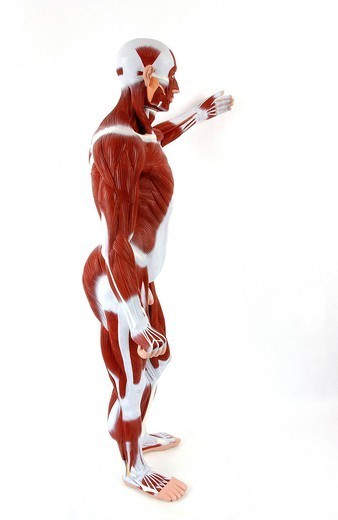 ANATOMY, MUSCLE. Anatomic model of the muscular system of an adult man in profile view. The main superficial skeletal muscles are depicted in burgundy for the whole body. The fasciae, fibrous membranes covering and separating the muscles, the tendons and ligaments ar : Stock Photo