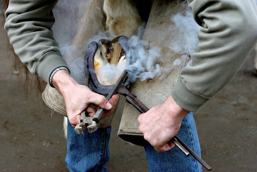 Stock Photo: 824-70678 BLACKSMITH FARRIER. Itinerant blacksmith farrier : the reddening horseshoe is then plunged into a bucket of water and adjusted on the hoof thanks to pliers and pincers Oise, Picardy, France.