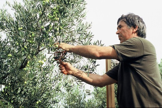 Stock Photo: 824-70721 OLIVE TREE PLANTATION. OLIVE TREE PLANTATION Photo essay. Olive farming near St Michel le Frigolet Abbey in Tarascon France. Harvesting using a comb or rake. The Barres mill, built in 1992 on the site of the old mill, uses modern technology to press the olives.  Once the olives are washed and crushed, a mixer-press extracts 70% of the oil contained in the olive paste. The liquid is sent through a centrifuge which separates the oil from the water. The olive paste containing the remaining 30