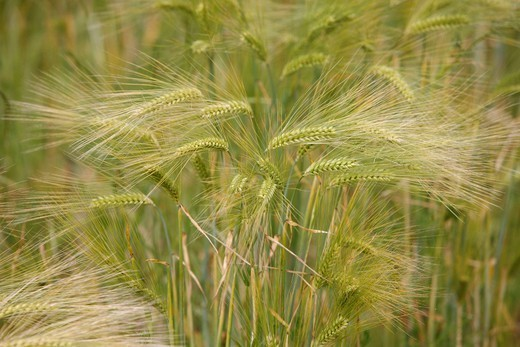 WHEAT GROWING : Stock Photo