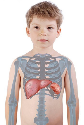 THORAX, DRAWING. Representation in a 6_year_old child silhouette of the rib cage and the location of the liver and spleen, organs of recycling for the blood red corspucles. : Stock Photo