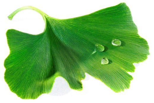 GINKGO BILOBA. GINKGO BILOBA Leaf of Ginkgo bilboa. : Stock Photo
