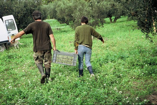 Stock Photo: 824-78329 OLIVE TREE PLANTATION. OLIVE TREE PLANTATION Photo essay. Olive farming near St Michel le Frigolet Abbey in Tarascon France. Collecting olives in net and transporting to truck. The Barres mill, built in 1992 on the site of the old mill, uses modern technology to press the olives.  Once the olives are washed and crushed, a mixer-press extracts 70% of the oil contained in the olive paste. The liquid is sent through a centrifuge which separates the oil from the water. The olive paste containi