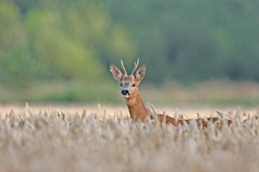 WESTERN ROE DEER. Western roe deer Male European roe deer Capreolus capreolus called yearling male deer in a field, picture taken in Picardy, France. Capreolus capreolus  Western roe deer  Cervid  Ruminant  Mammal : Stock Photo