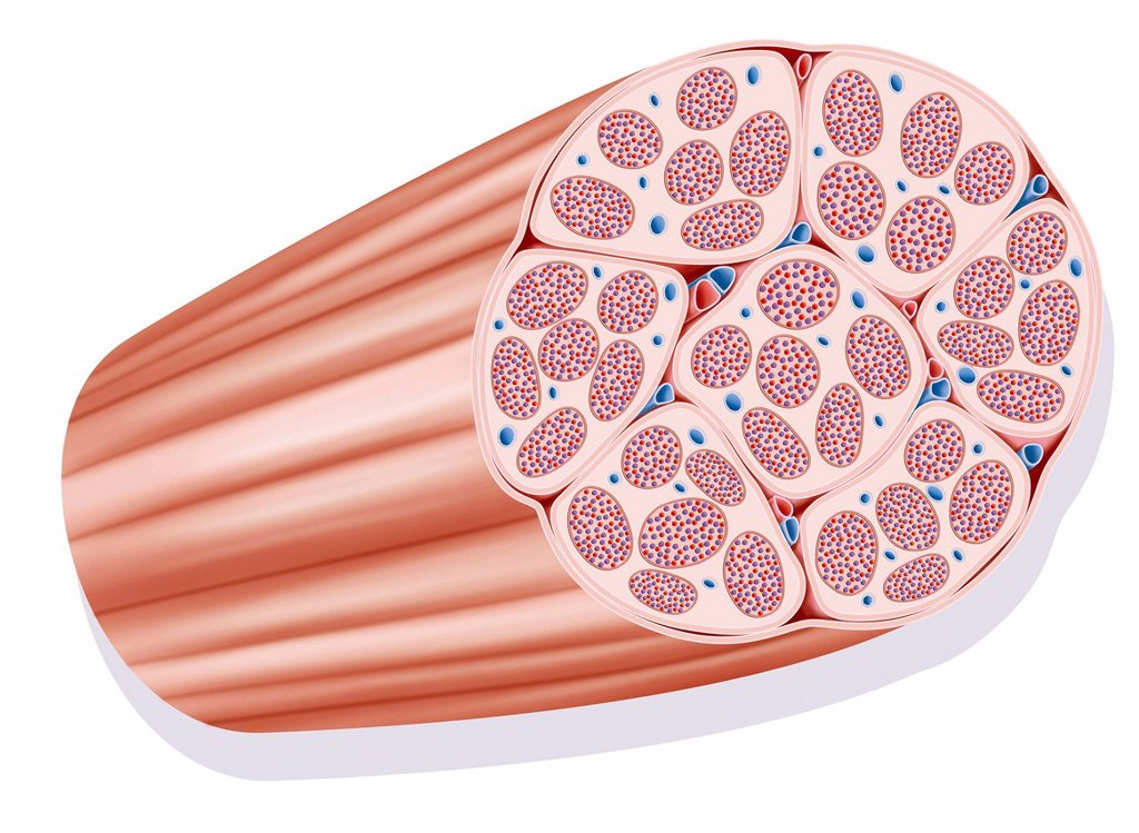 Stock Photo: 824-81628 SKELETAL MUSCLE, ILLUSTRATION. Fascicle muscle. Representation of a fascicle muscle a muscle is constituted of various fascicle muscles constituted of various fiber muscles largely vascularized.