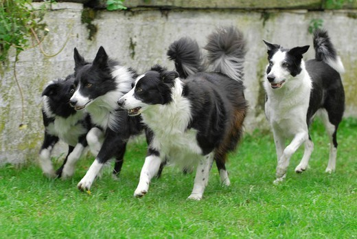 Stock Photo: 824-82427 DOG, BORDER COLLIE. Border Collie Four Border Collie running.