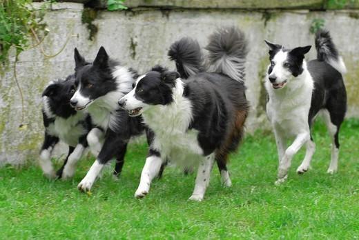 DOG, BORDER COLLIE. Border Collie Four Border Collie running. : Stock Photo