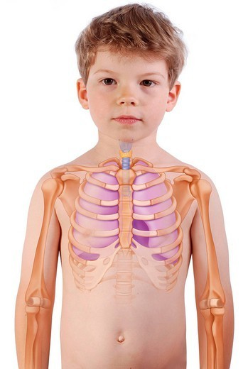 Stock Photo: 824-83841 THORAX, DRAWING. THORAX, DRAWING The lungs, the trachea and the rib cage in a 6_year_old boy.