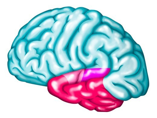 Stock Photo: 824-84181 CEREBRAL LOBE. The temporal lobe of the brain. The temporal lobe includes notably the auditory cortex : primary auditory cortex reception of sounds, in pale_pink and Wernicke´s area associated with the treatment of language, in purple. The functions of the other regions of the temporal lobe in fushia are not currently clearly defined. See images 0742007 for the auditory cortex alone, 0742507 for the primary auditory cortex alone, 0745107 for the Wernicke´s area alone and 0744307 : temporal lobe.