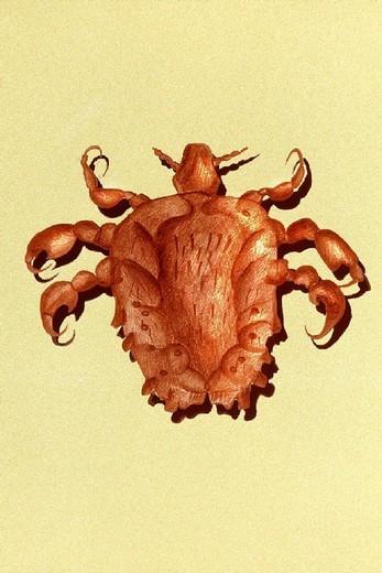 CRAB LOUSE. CRAB LOUSE Pubic louse. : Stock Photo