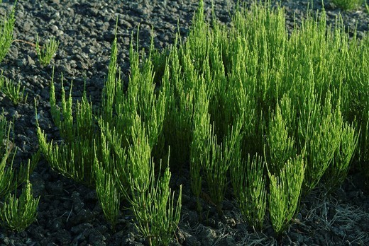 Stock Photo: 824-88443 FIELD HORSETAIL. FIELD HORSETAIL Worldwide distribution except for United Kingdom. Field horsetail Equisetum arvense.