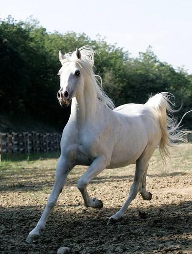 Stock Photo: 824-98633 ARABIAN HORSE. Arabian stallion.