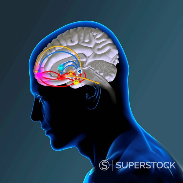Stock Photo: 824-98883 BRAIN REWARD SYSTEM. The brain reward pathway is indispensable to the survival because it associates the execution of vital functions with strong sensations of satisfaction. The ventral tegmental area VTA, receives informations which indicate the level of satisfaction, then analysis and transmits this information thanks to a chemical messenger, the dopamine, to the nucleus accumbens, the septum, the amygdala and the prefrontal cortex. The nucleus accumbens acts on the striatum which commands our
