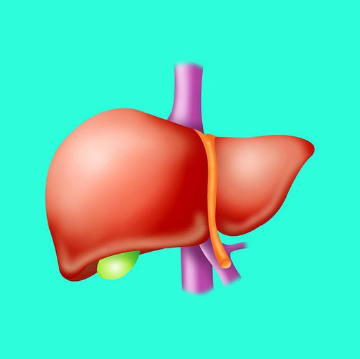 Stock Photo: 824R-5742 LIVER, DRAWING