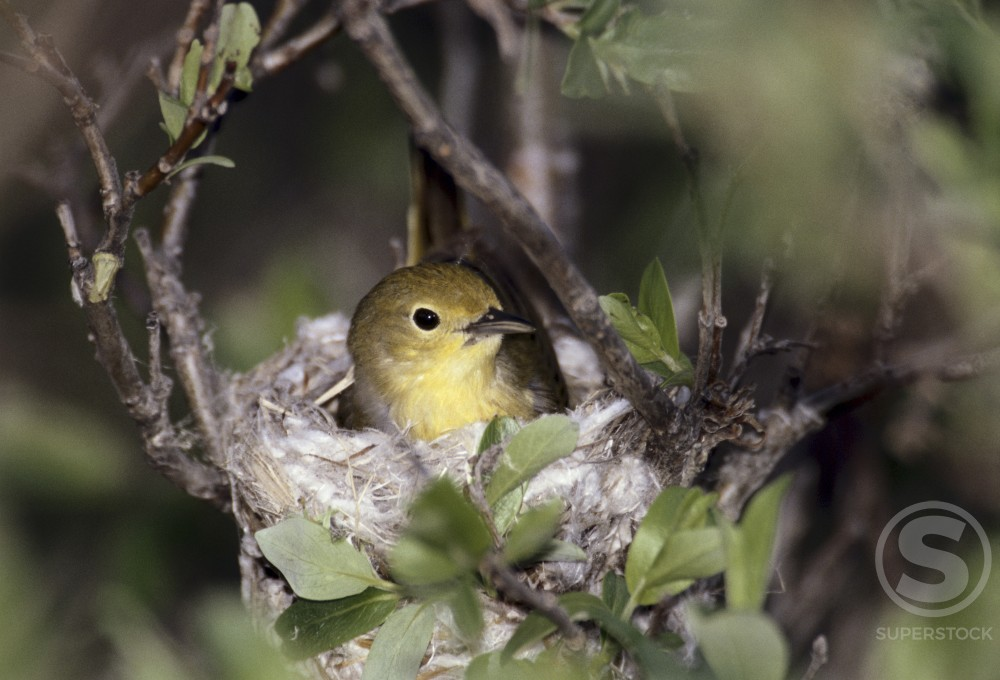 Yellow Warbler : Stock Photo