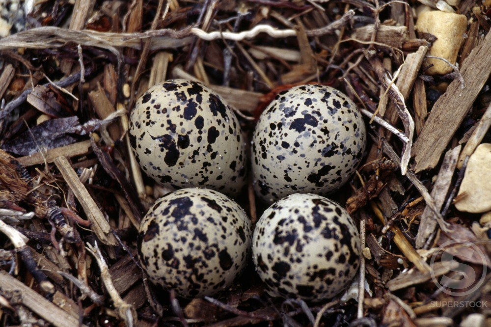 Semipalmated Plover Eggs : Stock Photo