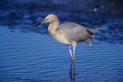 Reddish Egret