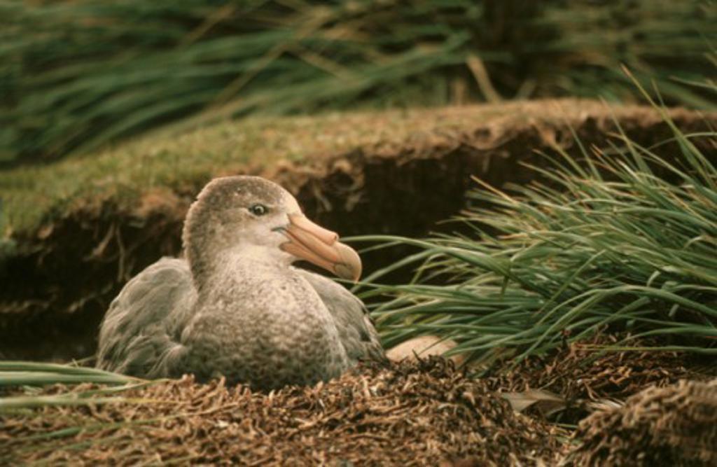Giant Albatross     : Stock Photo