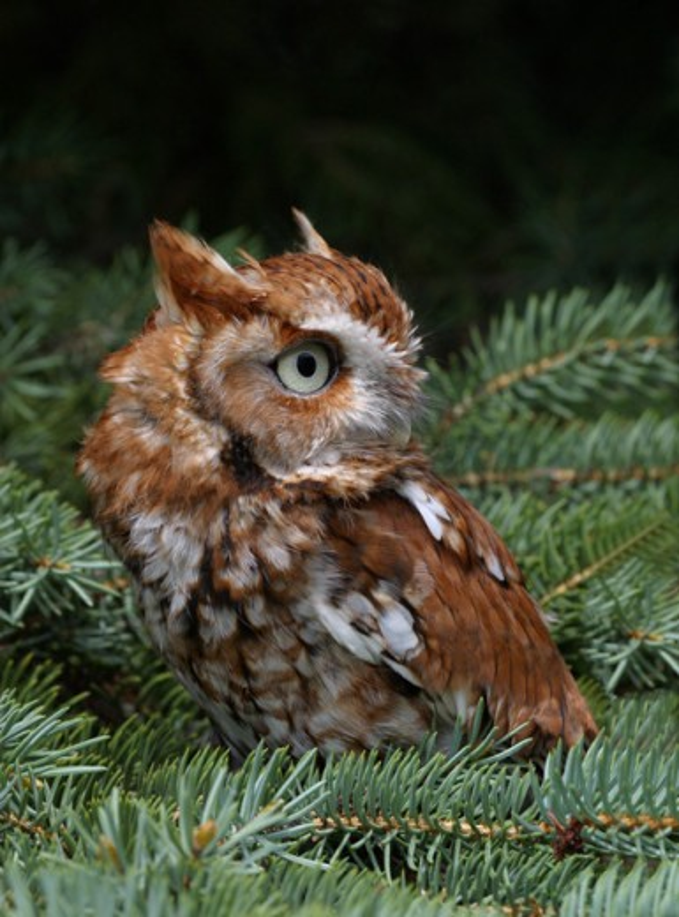 Stock Photo: 837-1959 Reddish Variant Screech Owl