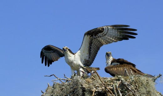 Ospreys : Stock Photo