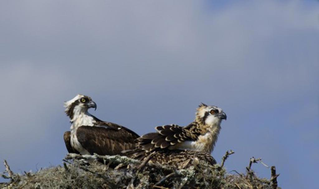 Ospreys : Stock Photo