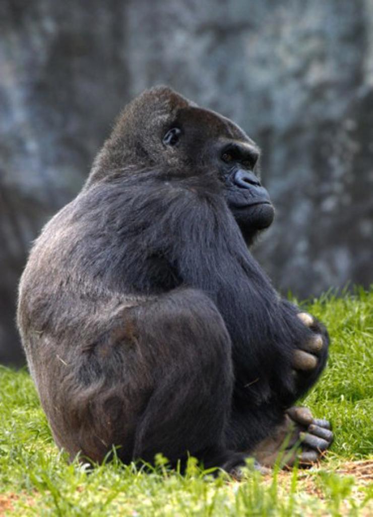 Stock Photo: 837-2000 Gorilla
