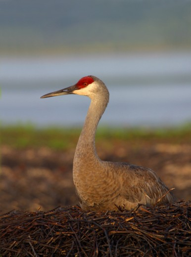 Stock Photo: 837-2014 Sandhill Crane