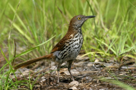 Close-up of a Brown Thrasher (Toxostoma rufum) : Stock Photo