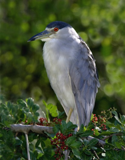Close-up of a Black Crowned Night Heron perching on a branch (Nycticorax nycticorax) : Stock Photo
