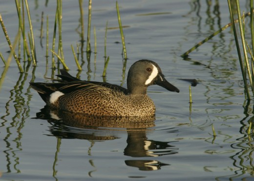 Stock Photo: 837-2284 Side profile of the Blue-Winged Teal in water