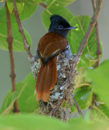 Close-up of a Paradise Flycatcher perching on its nest (Terpsiphone viridis) : Stock Photo