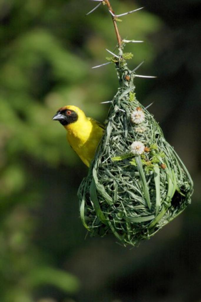 Close-up of a Vitelline-masked Weaver weaving its nest (Ploceus vitellinus) : Stock Photo