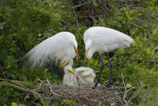 Four Great Egrets in its nest (Ardea alba) : Stock Photo