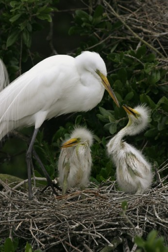 Close-up of a Great Egret feeding its young in a nest (Ardea alba) : Stock Photo