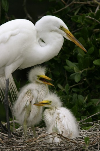 Close-up of a Great Egret guarding its young in a nest (Ardea alba) : Stock Photo